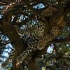 Leopard sleeping in a tree, Maasai Mara, Kenya,