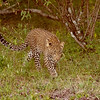 Leopard cub on the move, Maasai Mara, Kenya