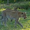 Leopard and Cub, Maasai Mara, Kenya