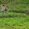Leopard cub leaping over ditch, Maasai Mara, Kenya