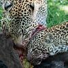 Leopard and cub eating a Wildebeest, Maasai Mara, Kenya