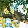 Leopard cub in tree, Maasai Mara, Kenya
