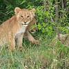 Two lion cubs, Maasai Mara, Kenya