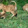 Playful lion cubs, Maasai Mara, Kenya