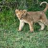 Curious lion cub, Maasai Mara, Kenya