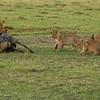 Lioness brings her cubs a recently killed wildebeest, Masai Mara, Kenya