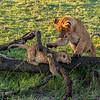 Lion cubs playing on a log, Maasai Mara, Kenya