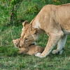 Lioness moving cub, Maasai Mara, Kenya