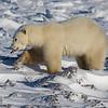 Young Polar Bear on the ice