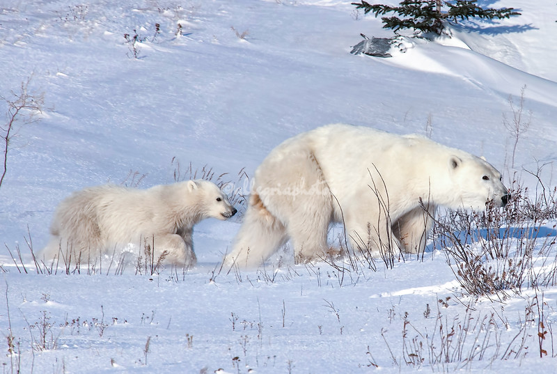 Female and cub