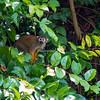 Squirrel monkey, Amazon, Peru