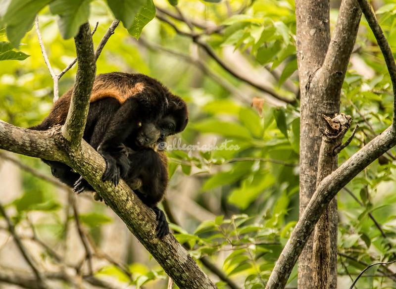 Family of howler monkeys with baby, Nicaragua