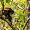 Family of howler monkeys with baby, Nicaragua