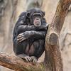 """Sometimes I just sits and thinks"", Chimpanzee. St Louis Zoo, St Louis, Missouri, USA"