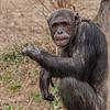 """Thats a thumbs up"", Chimpanzee, St Louis Zoo, St Louis, Missouri, USA"