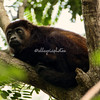 Young howler monkey, Nicaragua