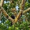 Monk Saki Monkey, Amazon, Peru