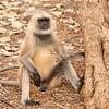 Langur Monkey, India