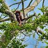 Howler Monkey, Amazon, Peru