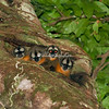 Owl Monkeys, Amazon, Peru