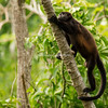 A howler monkey clambering up the tree, Nicaragua