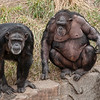 Chimpanzees, St Louis Zoo, St Louis, Missouri, USA