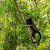 Howler Monkey climbing a tree