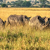 A crash of white rhinos in the Game Park