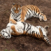 Two resting tigers