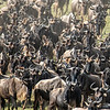 Wildebeest massing for a crossing at the Mara River, Great Migration, Maasai Mara, Kenya