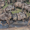 Wildebeest crossing a stream, Great Migration, Maasai Mara, Kenya