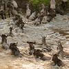 Wildebeest and Zebra, Great Migration, Maasai Mara, Kenya