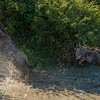 Wildebeest jumping across a river, Maasai Mara, Kenya
