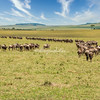 Lines of wildebeest plodding towards the Mara River, Great Migration