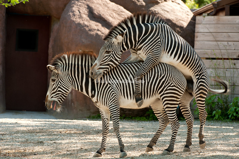 Zebras mating, St. Louis Zoo