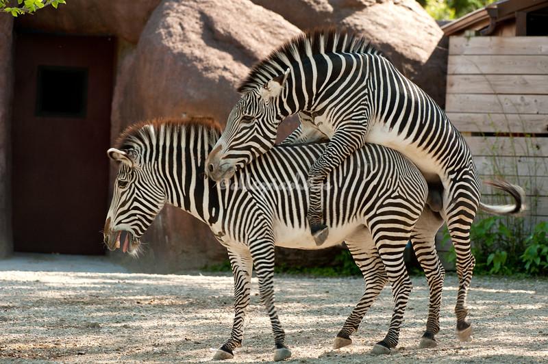 Grevy Zebras