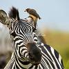 Zebra and oxpecker, Maasai Mara, Kenya