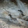 Zebra crossing the Mara River, Great Migration, Maasai Mara, Kenya