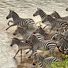 Herd of zebra entering the Mara RIver, Great Migration, Maasai Mara