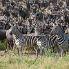 Zebras leading a large herd of wildebeest at the Mara River, Maasai Mara, Kenya