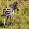 Zebra colt, Maasai Mara, Kenya