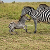Zebra foal, Maasai Mara, Kenya