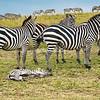 Resting zebra foal, Maasai Mara, Kenya