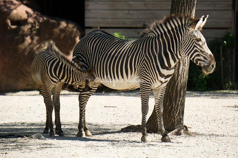 Nursing baby zebra
