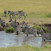 Small herd of Zebra at a pond, Maasai Mara, Kenya
