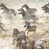 A herd of zebra crossing Mara River, Great Migration, Maasai Mara