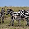Nursing Zebra, Maasai Mara, Kenya