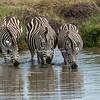 Three Zebra drinking in a pond, Maasai Mara, Kenya
