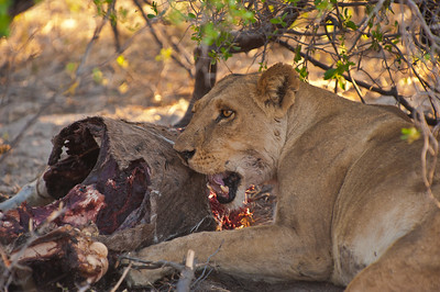 Lioness with kudu kill