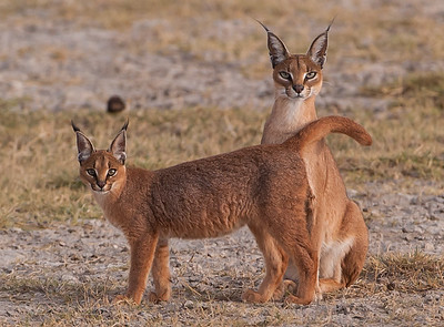 Caracals in the Ngorongoro Crater